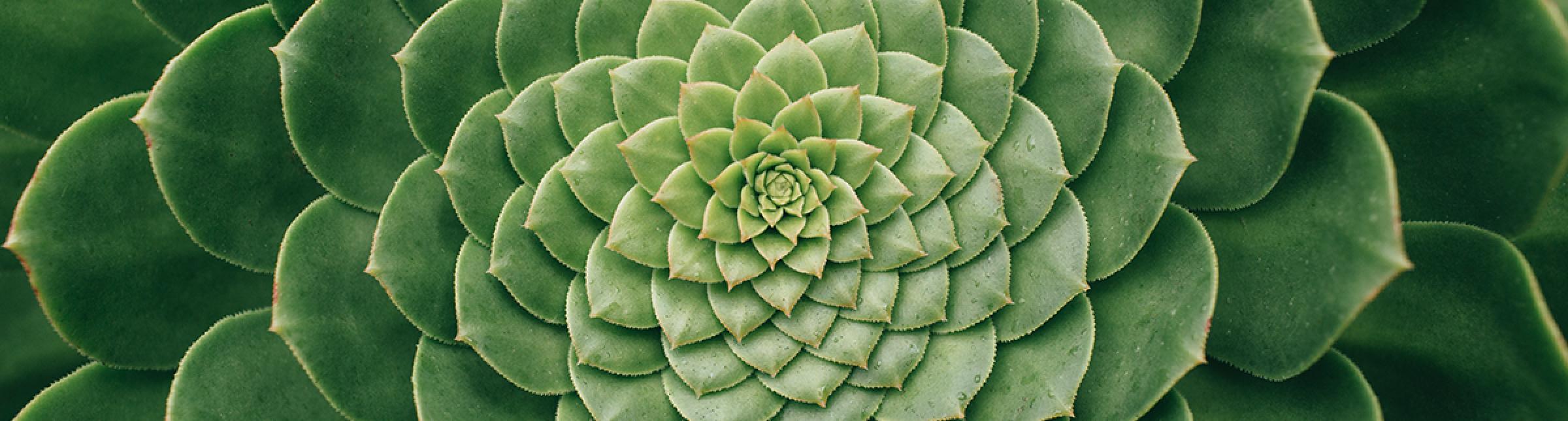 Primo piano di una pianta grassa a foglie larghe